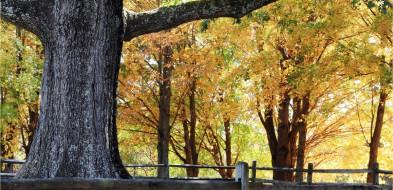 Ustanowione pomnikami drzewa to dęby Arek, Krzysztof i Maciej-50105